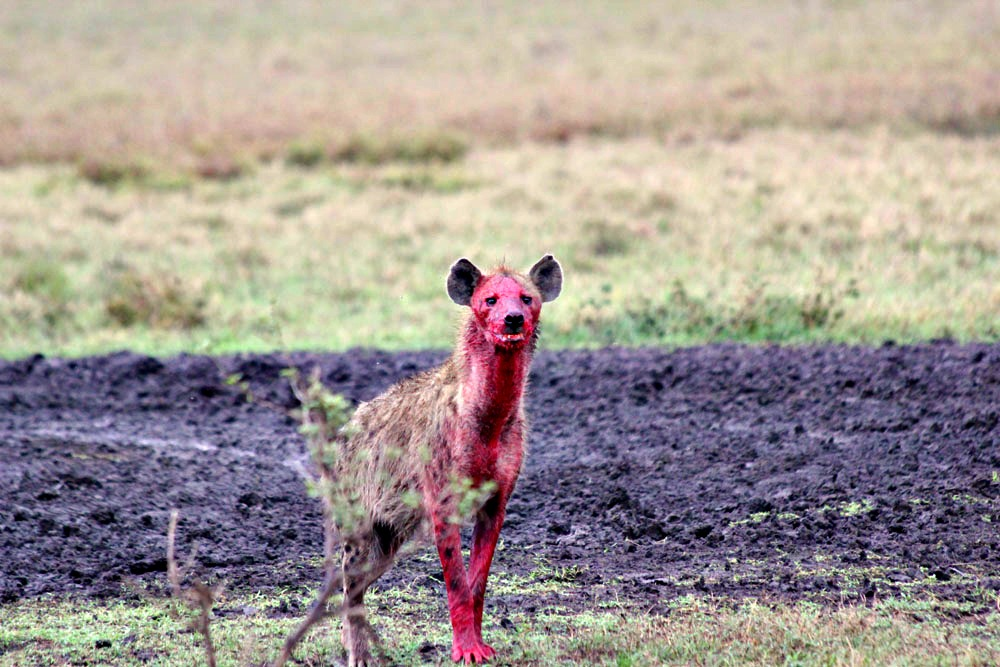 This is the exact hyena we saw before we got to the campsite.  Nightmares.
