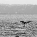 Adventuring with kids: Whale watching in Seattle